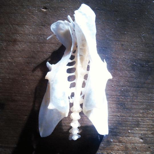 Bird Synsacrum at Dermestidarium Skull Cleaning