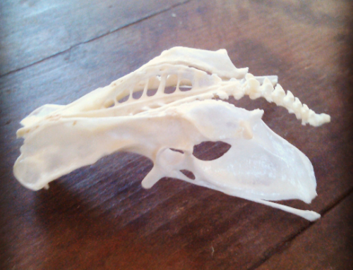 What kind of skull is this? Spoiler Alert: It's not a skull!